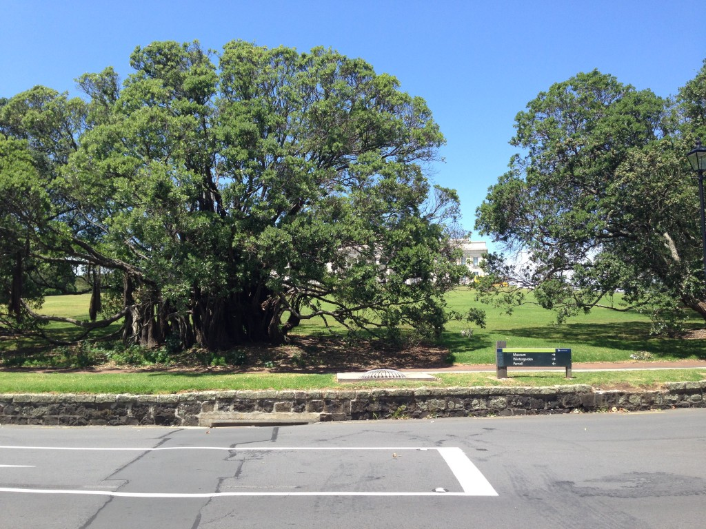Tree on Auckland Museum grounds