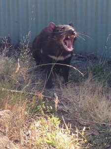 Tasmanian devil, Bonorong Wildlife Center, Tasmania, Australia