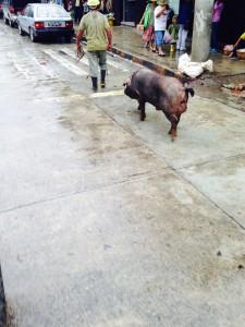 Pig in street