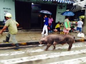 Pig in street in rain